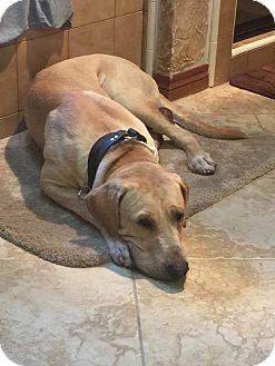 Labrador Retriever Dog for adoption in Jay, New York - King