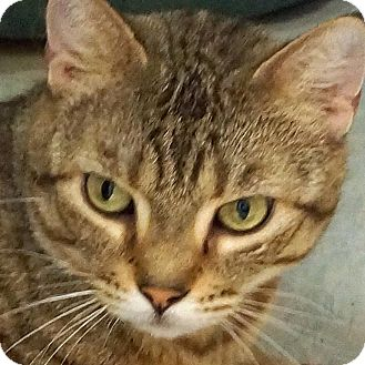 Domestic Shorthair Cat for adoption in Sprakers, New York - Missy