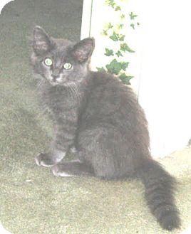 Domestic Mediumhair Kitten for adoption in Richardson, Texas - Pokey-13483