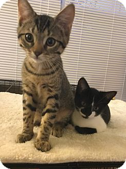 Domestic Shorthair Kitten for adoption in Ardsley, New York - Summer & Winter