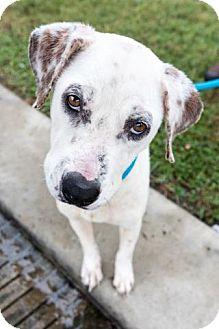 Pointer Mix Dog for adoption in Houston, Texas - CARLA