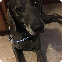Adopt A Pet :: Scooter - St. Cloud, MN