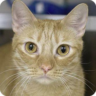 Domestic Shorthair Cat for adoption in New York, New York - Golden Graham