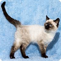 Adopt A Pet :: Nisa - Mt. Prospect, IL