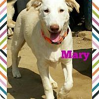 Adopt A Pet :: Mary*Indian Pariah Dog* - Monroe, NJ