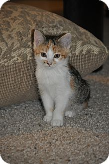Domestic Shorthair Kitten for adoption in Modesto, California - Sammy