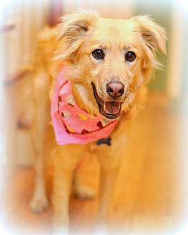 Golden Retriever/Labrador Retriever Mix Dog for adoption in Sparta, New Jersey - Lucy