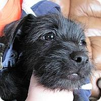 Adopt A Pet :: Chico - Albany, NY
