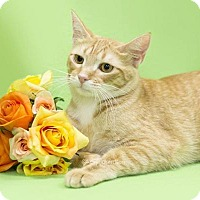 Domestic Shorthair Cat for adoption in Oviedo, Florida - Honey