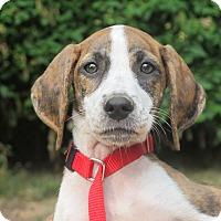 Adopt A Pet :: Sunflower - Allentown, PA
