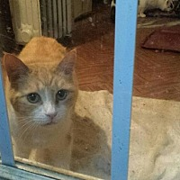 Domestic Shorthair Cat for adoption in Columbia, South Carolina - Kelly