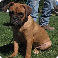 Adopt A Pet :: LUCY 'mini mastiff' - WOODSFIELD, OH