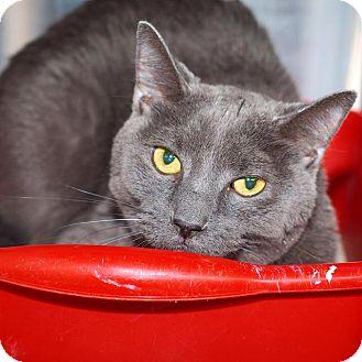 Domestic Shorthair Cat for adoption in Washburn, Missouri - Smokey Joe