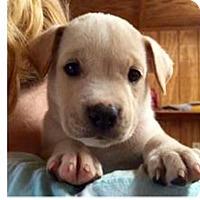 Adopt A Pet :: Calamari - Barnegat, NJ