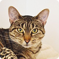 Domestic Shorthair Cat for adoption in Lincoln, Nebraska - Petunia