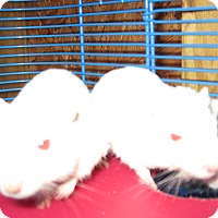 Gerbil for adoption in Christmas, Florida - Gerbils( M&F)