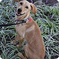 Adopt A Pet :: Daisy - Manassas, VA