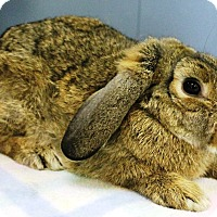 Lop-Eared Mix for adoption in Elizabethtown, Kentucky - Goldie