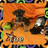 Adopt A Pet :: Toe - Houston, TX