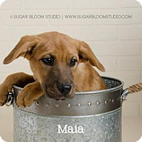 Adopt A Pet :: Maia - Denver, CO