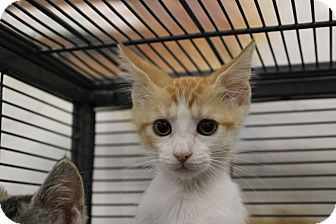 Domestic Shorthair Kitten for adoption in Sarasota, Florida - Harvey