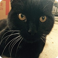 Domestic Shorthair Cat for adoption in Burlington, Ontario - Neo