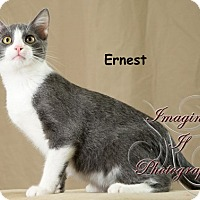 Adopt A Pet :: Earnest - Oklahoma City, OK