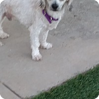 Poodle (Miniature) Mix Dog for adoption in San Diego, California - Marcus