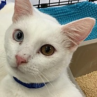 Oriental Kitten for adoption in Lakewood, California - AMOS AND ANDY