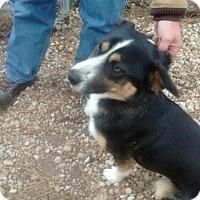 Adopt A Pet :: Bentley - Rockville, MD