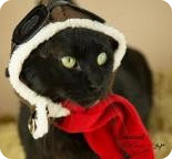 Domestic Shorthair Cat for adoption in Janesville, Wisconsin - Grady