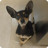 Adopt A Pet :: Tikki #163305 - Apple Valley, CA