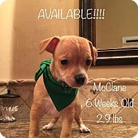 Adopt A Pet :: McClane - Flower Mound, TX