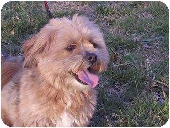 George | Adopted Dog | TIA | Portland, ME | Yorkie ...