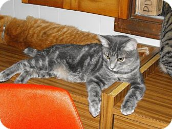Domestic Shorthair Cat for adoption in Grand Rapids, Michigan - Silverstreak