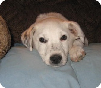 Australian Cattle Dog/Border Collie Mix Puppy for adoption in Golden Valley, Arizona - Reggie