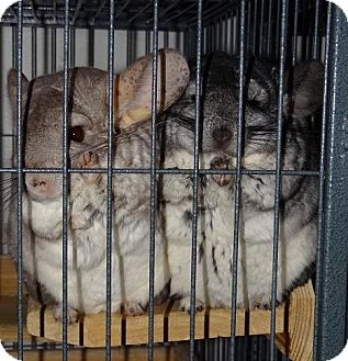 Chinchilla for adoption in Virginia Beach, Virginia - Olive & Willow