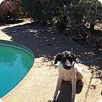Adopt A Pet :: Sailor - Orange Cove, CA