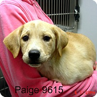 Adopt A Pet :: Paige - baltimore, MD