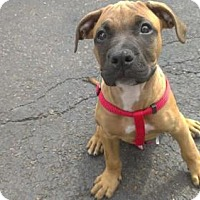 Adopt A Pet :: Bradley - Kimberton, PA