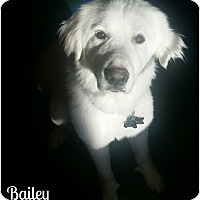 Adopt A Pet :: Bailey - Kyle, TX