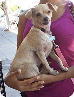Chihuahua Mix Dog for adoption in Encino, California - Cindy