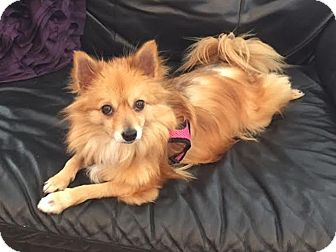 pomeranian rescue in florida jacksonville fl pomeranian meet holly a dog for adoption 7437
