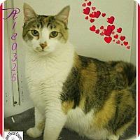 Adopt A Pet :: Tina - Glendale, AZ