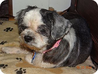 Shih Tzu Dog for adoption in Madison, Wisconsin - Willow: MELLOW Girl!