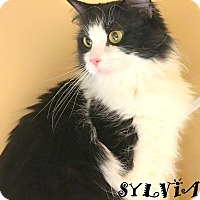 Maine Coon Cat for adoption in Mooresville, North Carolina - SYLVIA