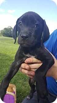 Labrador Retriever/Foxhound Mix Puppy for adoption in Florence, Kentucky - Dobby