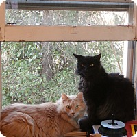 Domestic Longhair Cat for adoption in Baltimore, Maryland - Kyle (COURTESY POST)