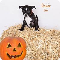 Rat Terrier/Pug Mix Puppy for adoption in Riverside, California - Dozer