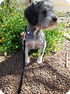 Havanese Mix Dog for adoption in Las Vegas, Nevada - Nano